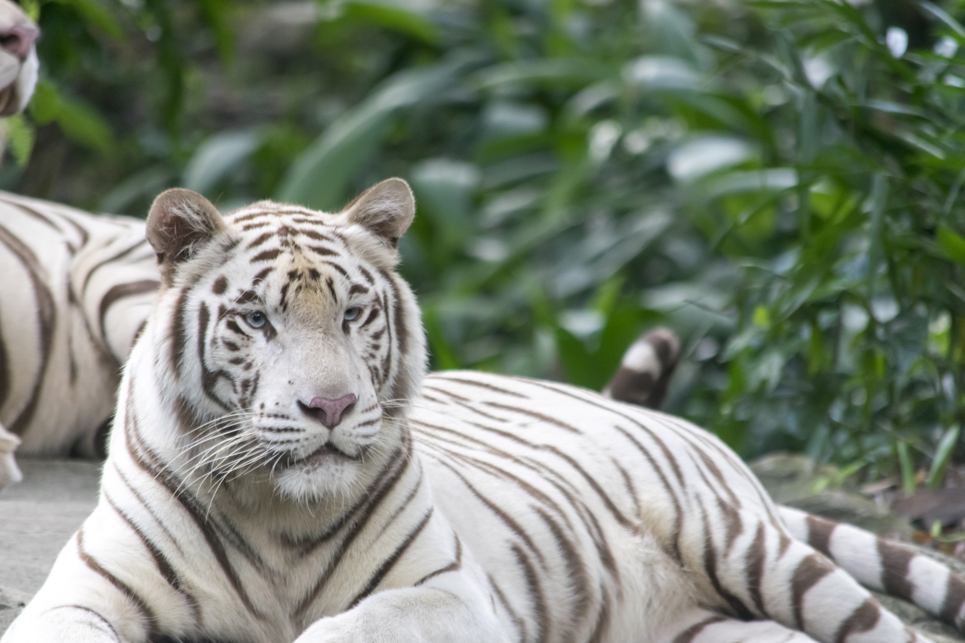 Peaceful white tiger